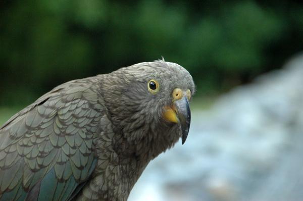 Oko w oko z papugą kea