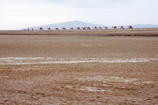 Karawana wielbłądów  objuczona solą wyrusza w kierunku Mekkele, gdzie surowiec jest sprzedawany