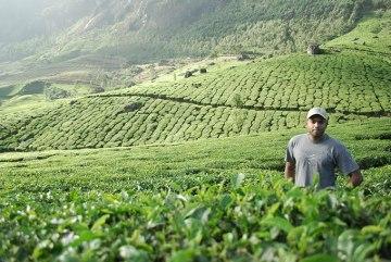 Na plantacji herbaty w Indiach