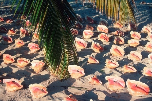 Turks i Caicos, konchy