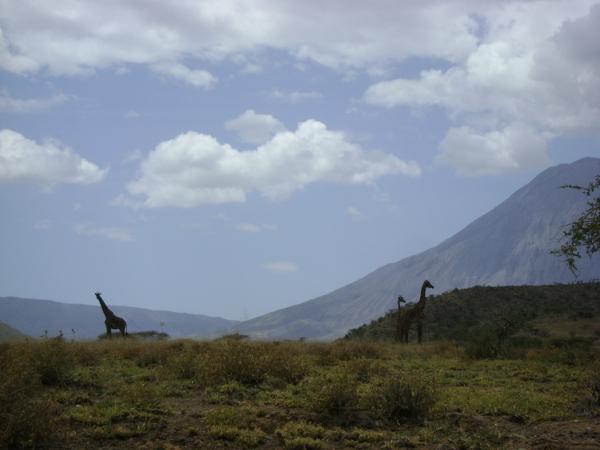 Żyrafy przy wulkanie.