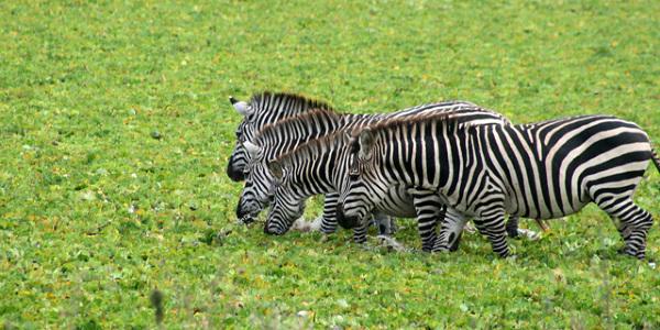 W PN Tarangire – punda mile w zespole - Tanzania