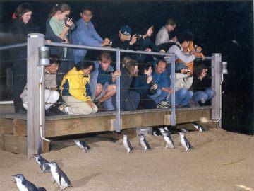 """Tak wygląda """"Penguin Parade"""" z platform umieszczonych na plaży. Nie przekraczające w większości 30cm pingwinki małe przechodzą pod naszymi stopami."""