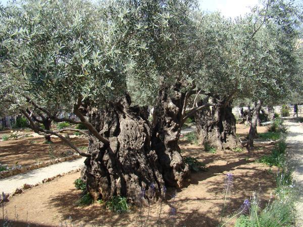 Ogród Oliwny