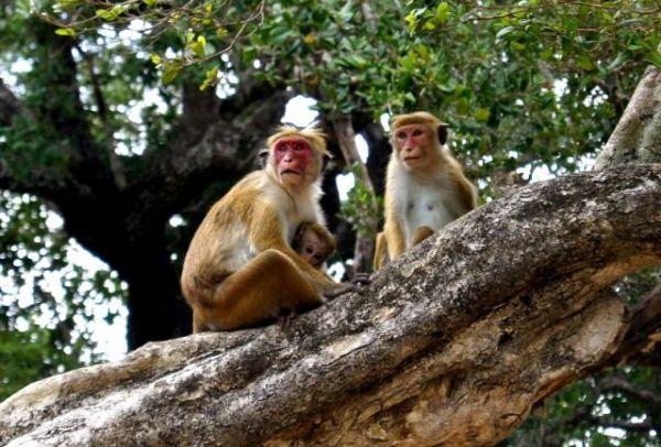 Makaki siedzące na drzewie w pobliżu gal Viharaya