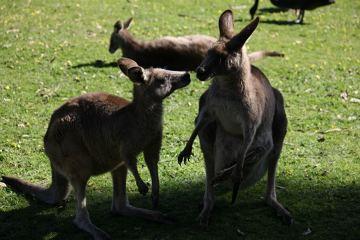 Kangury gromadzą się w stada składające się po kilkadziesiąt osobników