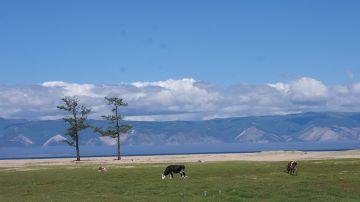 Hużyr – rano plaża należy do krów!
