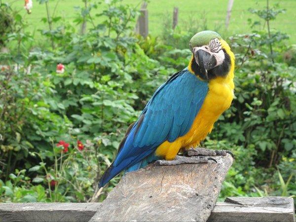 papuga Szamana