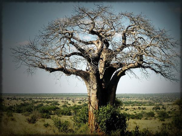 Drzewo z duszą, Baobab. Zdjęcie zostało zrobione 1 Lipca, 2007.