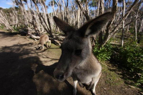 Do kangurów można podejść naprawdę blisko