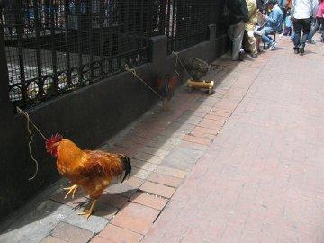 Koguty przywiązane do wejścia do przejścia podziemnego w centrum miasta, Bogota.