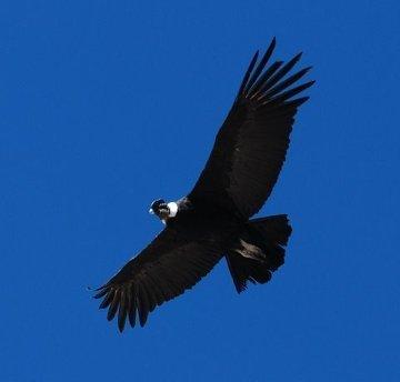 Kondor nad Cruz del Condor
