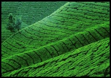 Pola herbaciane, INDIE