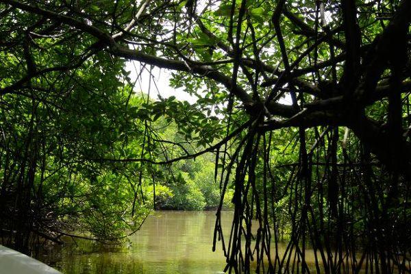 Lasy Mangrowe w pobliży Beruwala