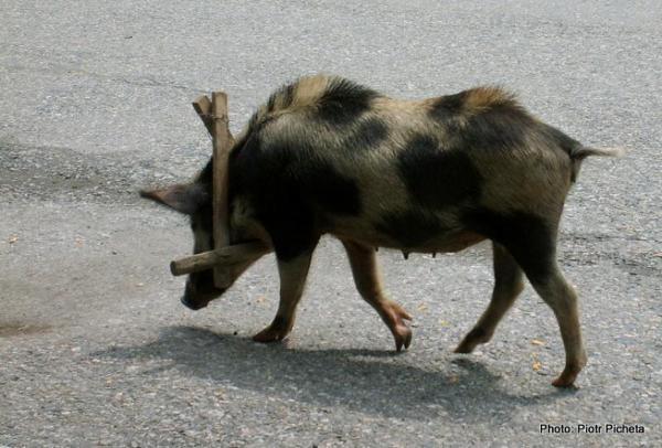Swanecka świnia w Mestii