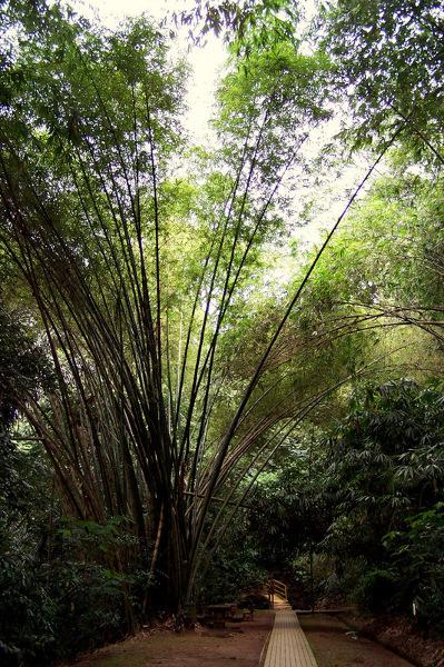 Bambusowa alejka na Bukit Nanas, centrum miasta