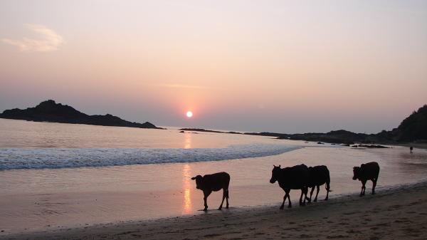 Polozona w indyjskim stanie Karnataka Gokarna to ciekawa alternatywa dla zatloczonych i skomercjalizowanych plaz Goa. Na kilku odseparowanych malowniczymi skalami plazach uzywanych w rownym stopniu przez ludzi co zwierzeta mozna rankiem pocwiczyc joge lub pomedytowac, a wieczorem posluchac improwizowanych koncertow wprost na piasku.