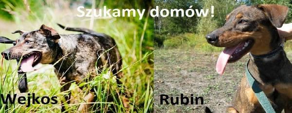 Wejkos i Rubin, dwa piękne i mądre psy, szukające domu