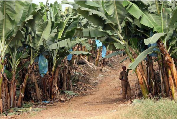 Plantacja bananów. Kamerun zaopatruje prawie całą Afrykę w ten owoc.Poza tym krąży tam pewna legenda o tym, że Ewa skusiła Adama nie jabłkiema właśnie bananem. Natomiast z naukowego punktu widzenia banany sąjagodami !