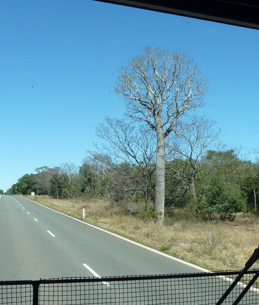 baobab - przypomniał mi się Mały Książę