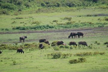 """Poszukiwanie """"wielkiej piątki"""". W czasach kolonialnych uczestnicy safari najwyżej cenili upolowanie pięciu zwierząt: słonia, nosorożca, lwa, bawoła i lamparta"""