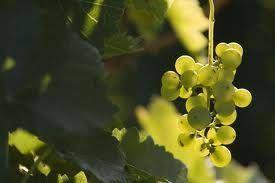 Zanim powstanie wino...