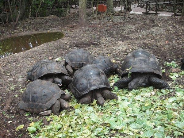 Te gigantyczne żółwie zamieszkują wyspę Prison Island, położoną około 20 minut drogi łodzią od Stone Town, stolicy Zanzibaru. Sprowadzono je z z Aldabry, atolu prznależącego do archipelagu Seszeli. Reprezentują nieprzeciętne gabaryty – 400 kg wagi i nieprzeciętną długowieczność – dożywają nawet 250 lat