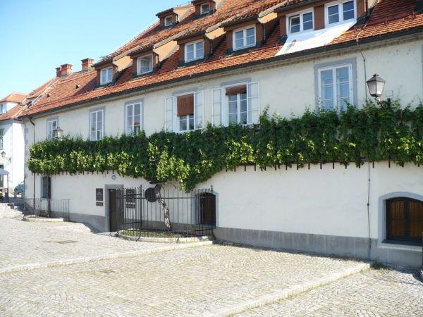 Najstarsza winorośl na świecie (slov. Stara Trta). Znajduje się w słoweńskim mieście Maribor
