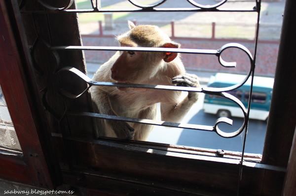 Lop Buri to miasto małp. Bez krat w oknach czekałaby nas zagłada.