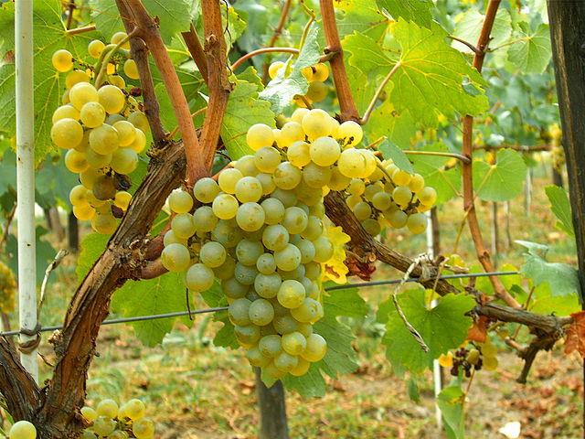 Obserwując dojrzewające winogrona – Mołdawia
