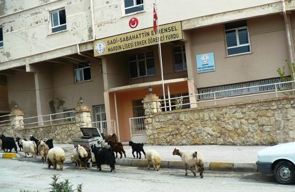Męski akademik w centrum Mardin i stadko rozbieganych po ulicy owiec