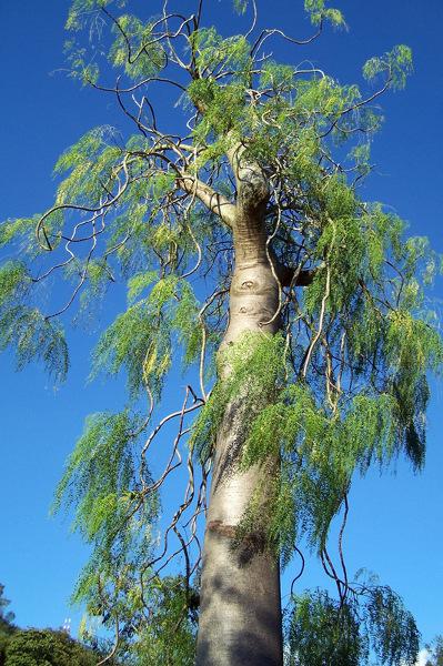 Słoniowe drzewo w parku Lake Gardens