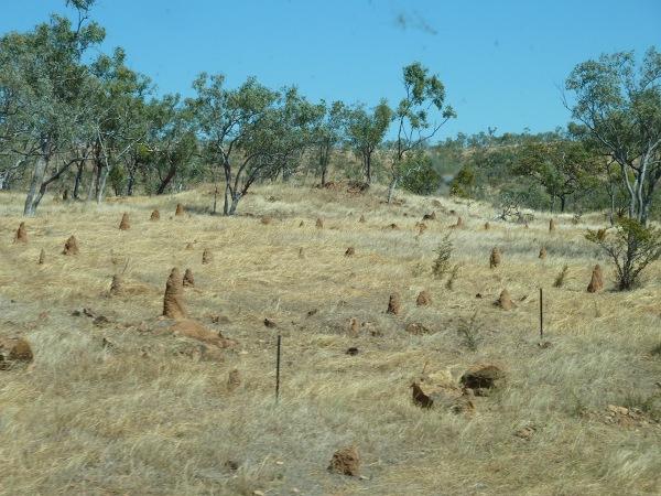 a wokół sawanna - tylko karłowate drzewka i termitiery