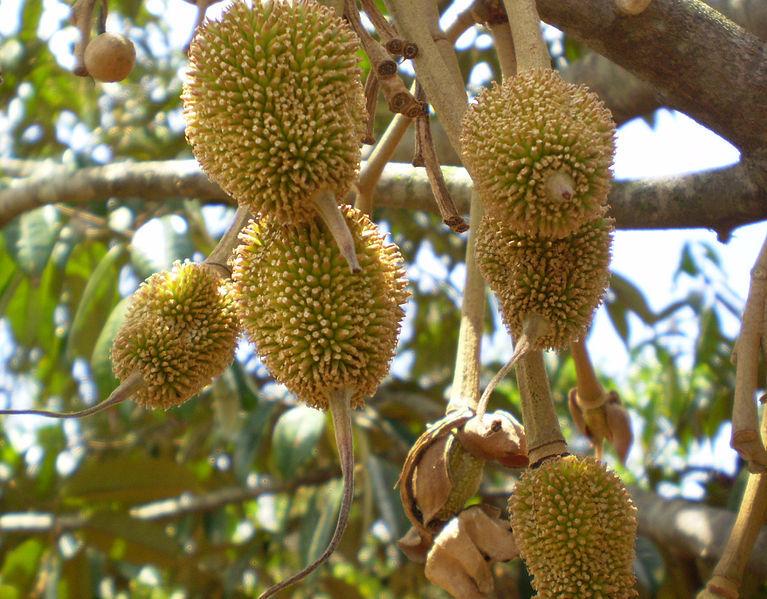 Durian – azjatycki król owoców