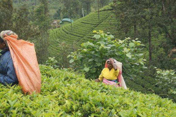 Plantacja herbaty w Nuwara Eliya