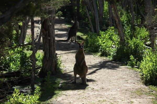 Kangury na szlaku