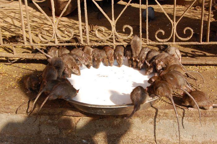 Boskie szczury