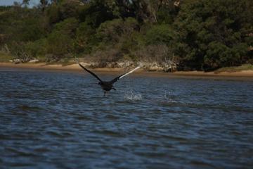 Jedna z zatok w Lakes Entrance. Czarny łabędź wzbija się do lotu.