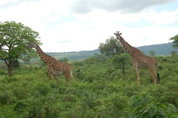 Żyrafy w Rezerwacie Masai Mara