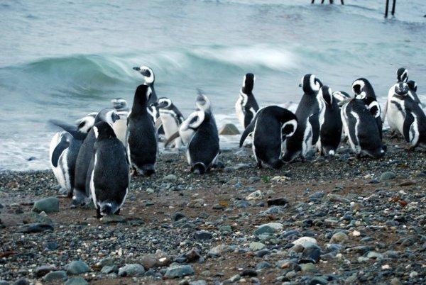 Nieporadne pingwiny na Wyspie Magdalena