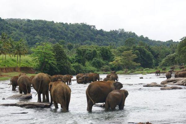Sierociniec słoni w Pinnawala