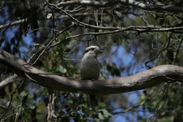 Śmiech Kookaburry może spokojnie uchodzić za jeden ze znaków firmowych Australii.