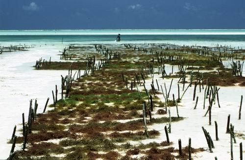 Plantacje alg, plaża na Zanzibarze