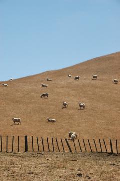 Wszechobecne owce