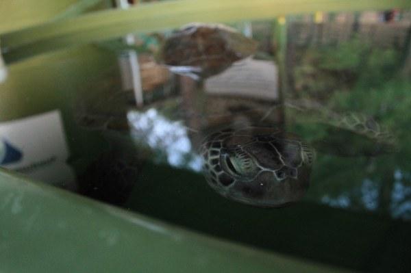 Uratowane żółwie Caretta pod dobrą opieką