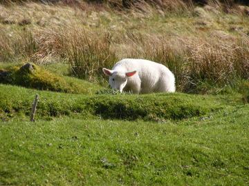 Zagubiona owieczka. Zdjęcie zrobione podczas całodniowej wyprawy w góry Wiclow. W górach napotkać można liczne stada tych zwierząt, które za każdym razem reagują zdziwieniem na widok jadącego samochodu.
