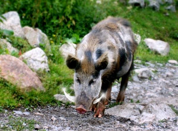 Swanecka świnia w Uszguli