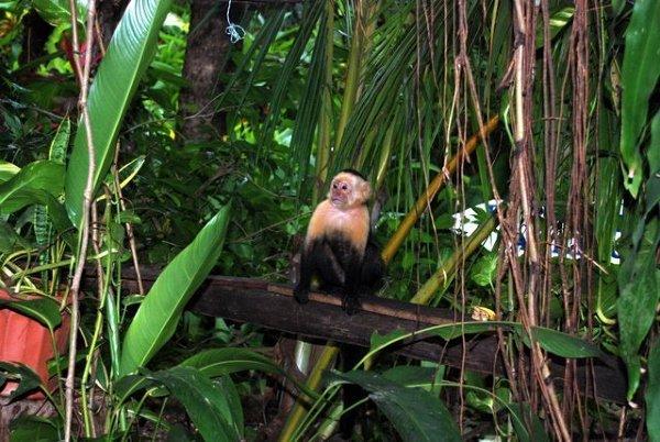 Małpka kapucynka podczas naszego obiadu
