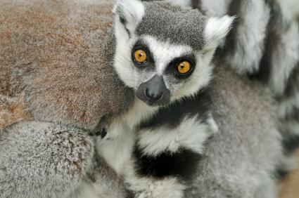 Lemur to prawie symbol Madagaskaru