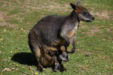Samica wallaby z małym